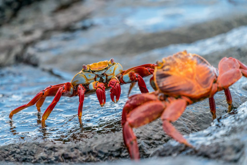two crabs are about to fight